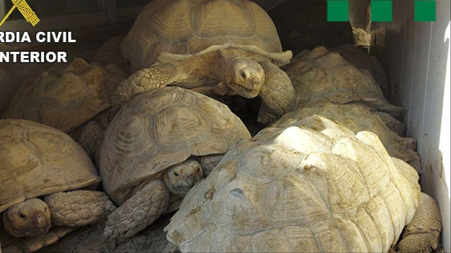 Golpe policial a una mafia que traficaba con tortugas protegidas