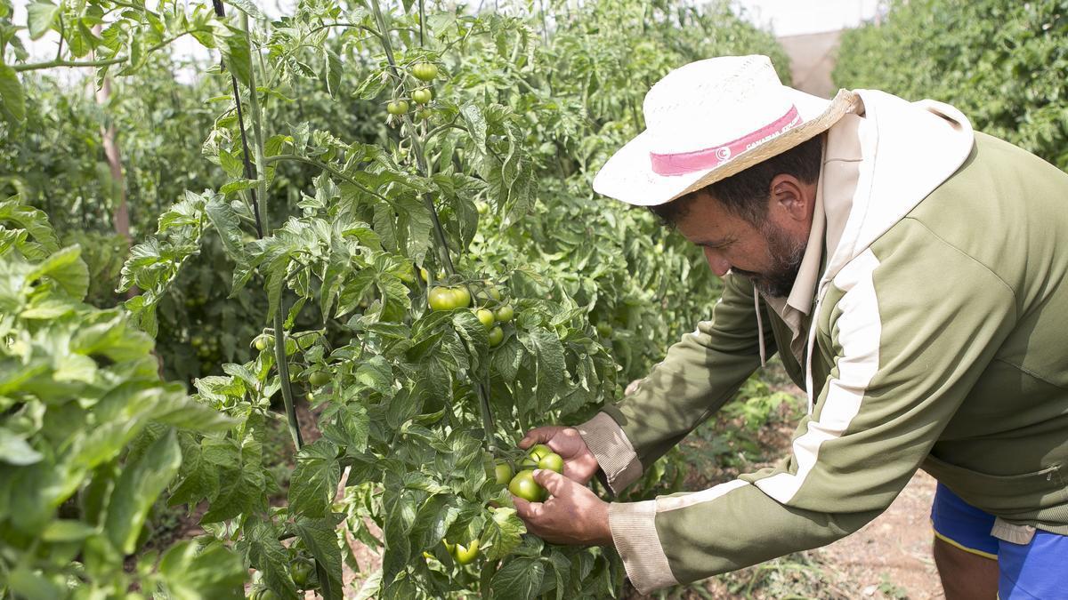 Un trabajador en una finca de tomates.