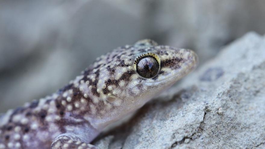 Blinder Passagier: Ein Gecko von Mallorca reist im Koffer mit nach Österreich
