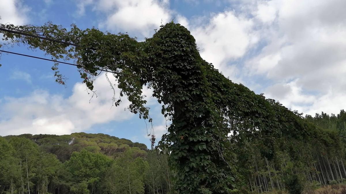 Un pal de la xarxa de telefonia i internet que dona servei a Arbúcies, ple de vegetació. Imatge cedida aquest 12 de maig del 2021 (Horitzontal)