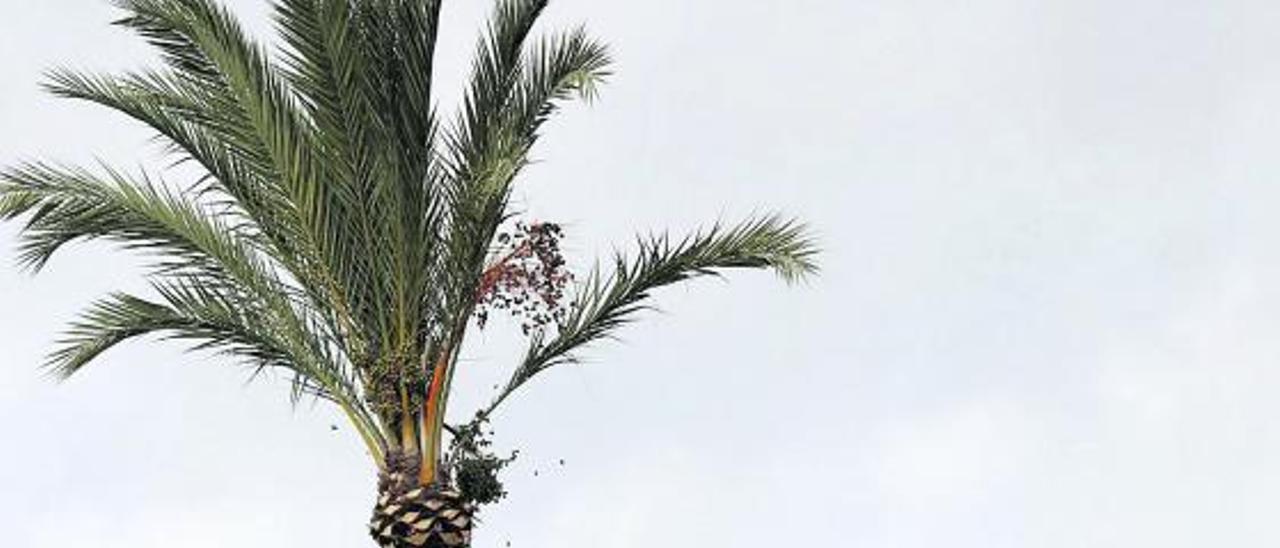 Los trabajos de poda de palmeras realizados el pasado año por una empresa en el Hort de Baix. | ANTONIO AMORÓS