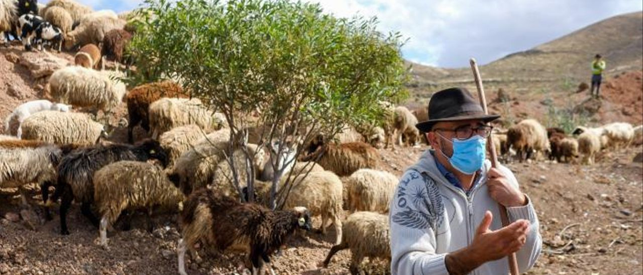 Ruymán Mena con sus ovejas en Lomo Calacio, antes de efectuar la trashumancia hacia la cumbre el pasado viernes. | | JOSE CARLOS GUERRA
