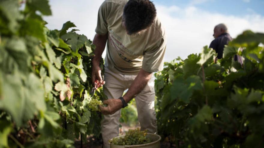 Las altas temperaturas adelantan la vendimia en todas las comarcas isleñas