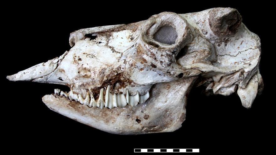 Investigadores asturianos descubren fósiles de buey almizclero de hace 35.000 años en Picos de Europa