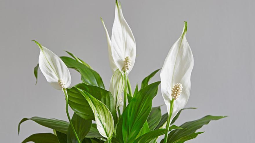 Diez plantas que mejorarán el ambiente del hogar