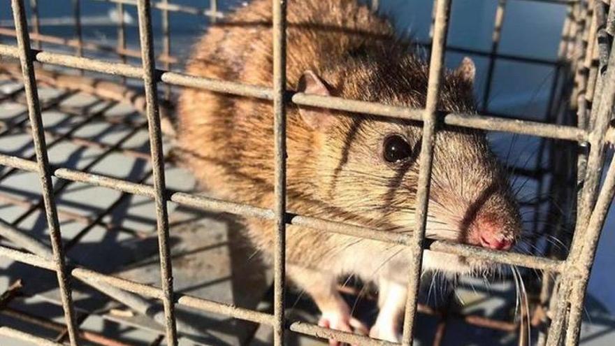 Ratas del tamaño de gatos invaden hogares en Inglaterra a través del váter