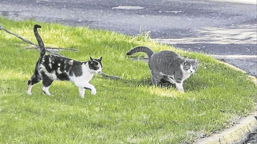 El Ayuntamiento de Hornachuelos esterilizará a los gatos callejeros
