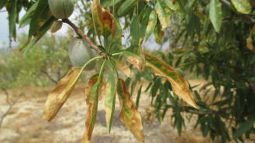 El 96 % de los árboles atacados por la 'Xylella fastidiosa' son almendros