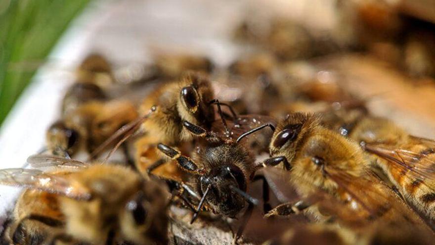 La microbiota intestinal conforma el comportamiento social de las abejas