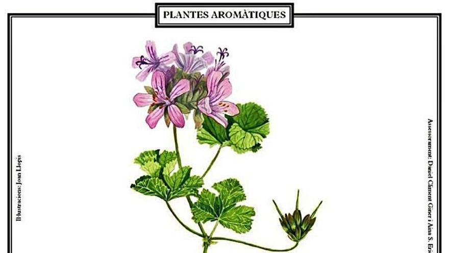 Una sèrie de làmines difon la terminologia de les plantes aromàtiques en valencià