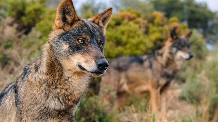 Murcia, en contra de proteger al lobo ibérico y la tórtola frente a la caza