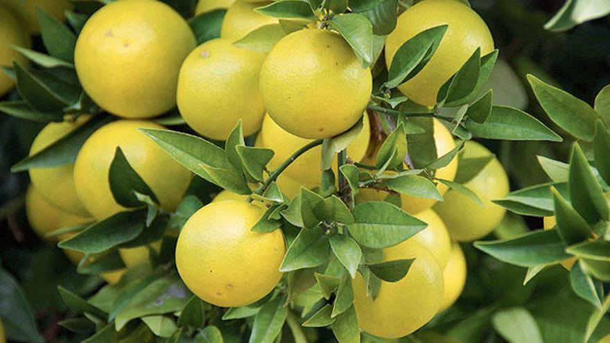 Simply Fosh: Die unterschätzte Grapefruit