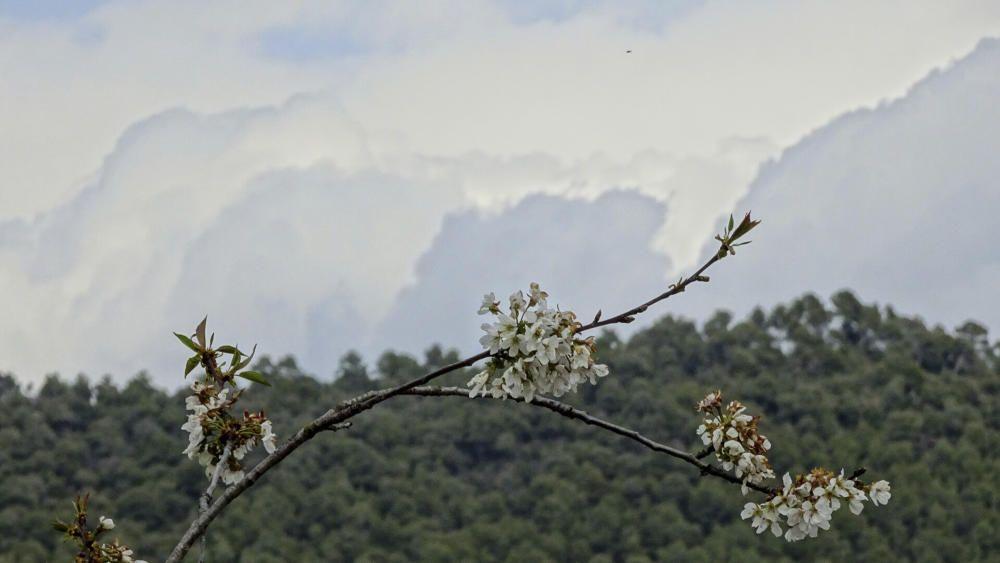 Cirerer florit amb un fons ennuvolat.