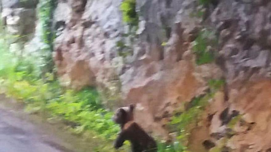 """Agentes del Medio Natural buscan a tres turnos a la familia de la cría de oso """"Yernes"""""""