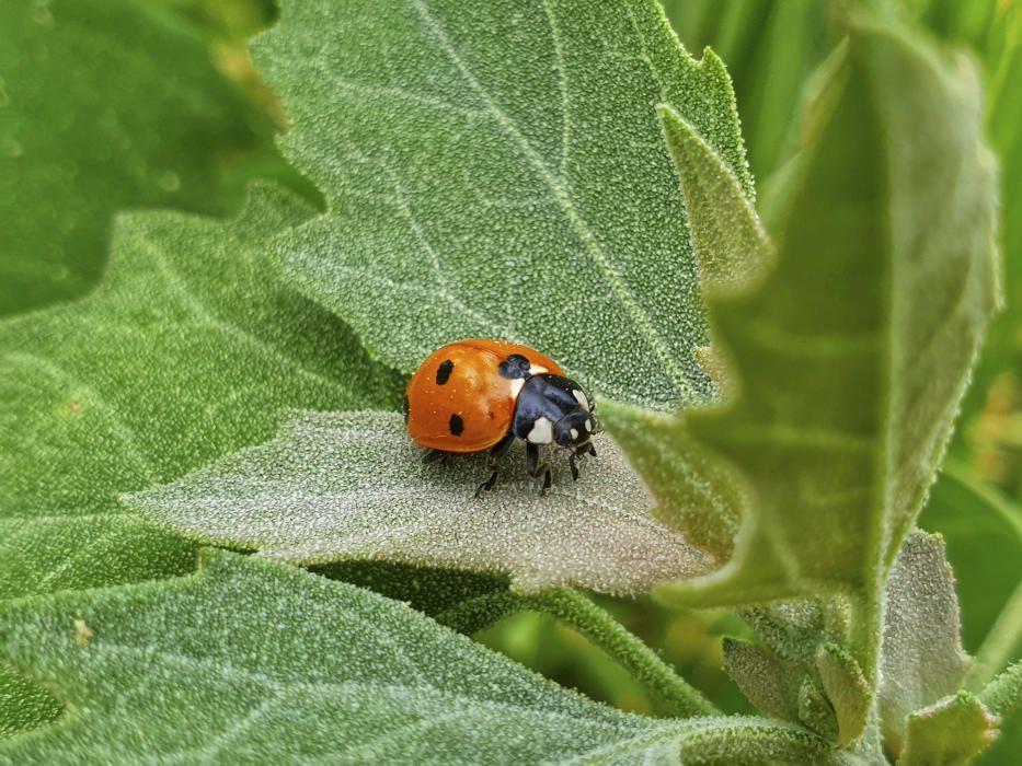 Ladybug. Una marieta, de colors lluents molt vistosos, amb fons vermell, carabassa, verd o groc i un nombre variable de taques negres. És un insecte molt popular entre els infants, que se'l posen al palmell de la mà ben estesa.