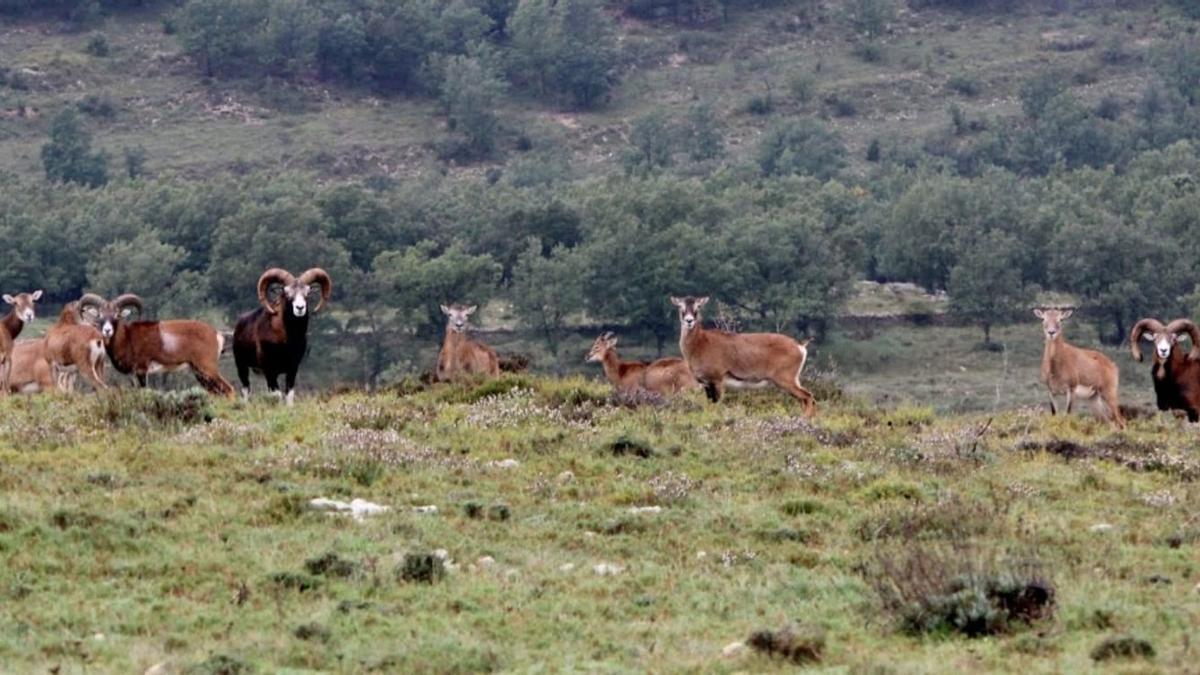 Algunos de los animales que tiene Sopeña en su finca de Morella, que están totalmente libres de sarna gracias al tratamiento que lleva aplicando desde hace tres años.