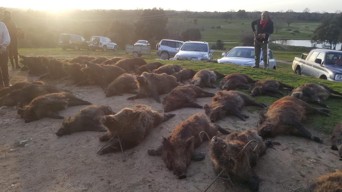 Jabalíes abatidos en Cabañas de Sayago