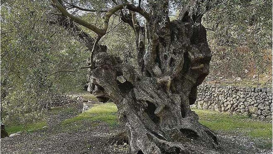 Olivenbaum auf Mallorca erregt spanienweit Aufsehen
