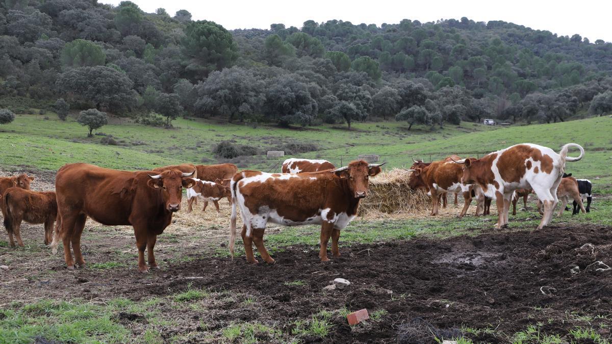 Los primeros trabajos se han realizado con el ganado vacuno, pero también con ovino y porcino..
