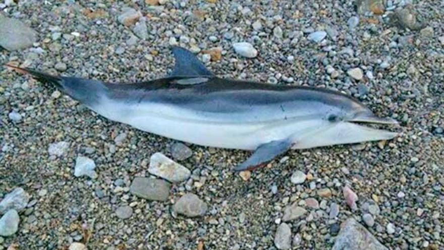 Verwirrter Delfin strandet an Mallorcas Küste