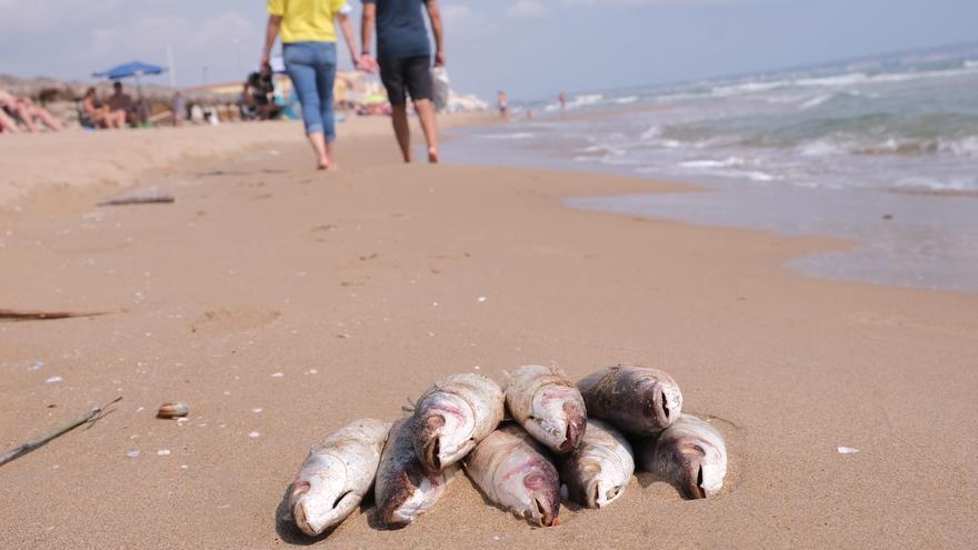 La CHS investiga la elevada mortandad de peces en la desembocadura del Segura