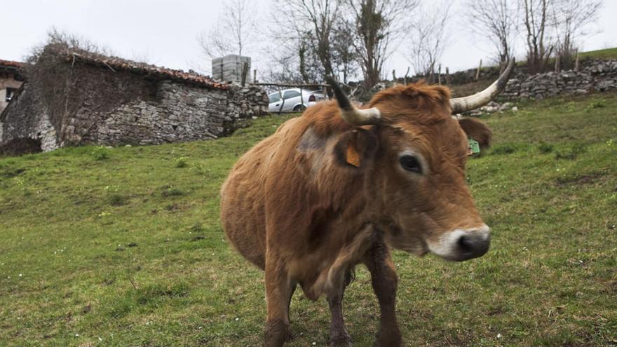"""""""Unos piensan en tirar la toalla, otros ni en cogerla"""", dicen los ganaderos de los Picos"""