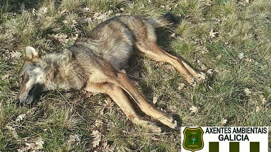 Abaten de un tiro a una loba en A Gudiña mientras el Gobierno quiere vetar su caza