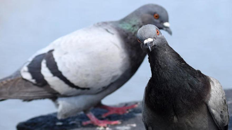 La paloma más cara del mundo alcanza los 1,6 millones de euros