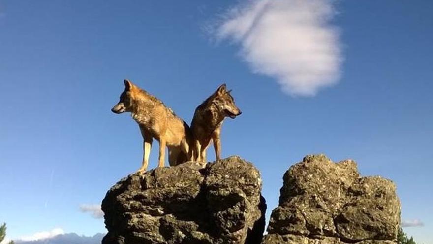 """Frente común del norte, donde está el 95% de las manadas, contra la protección del lobo de Ribera: """"Es un desprecio para los ganaderos"""""""
