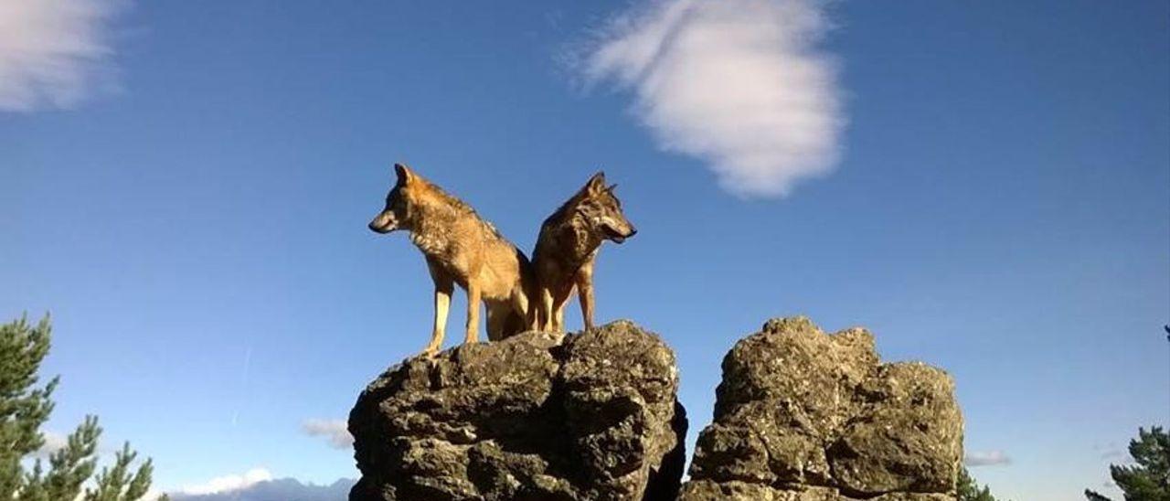 Varios lobos. / EUROPA PRESS