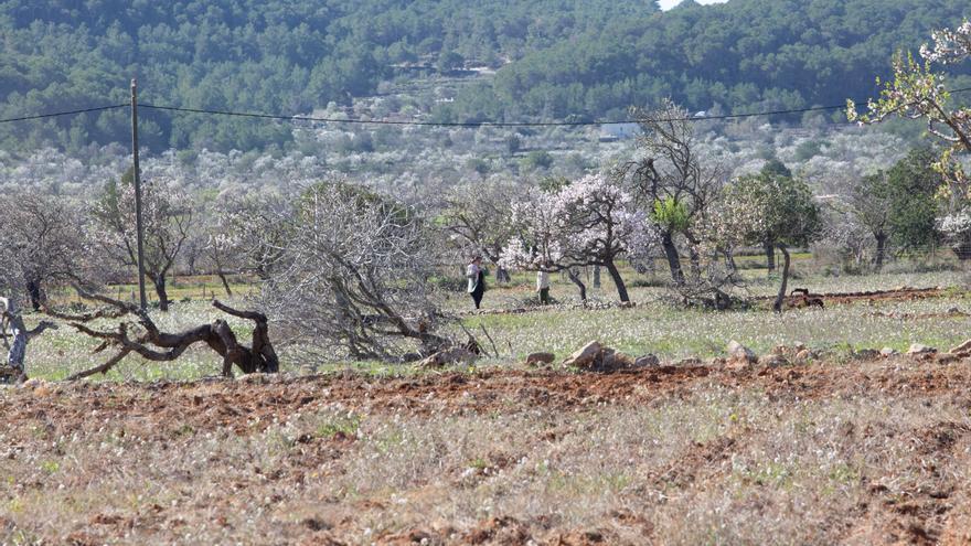 Control policial para que los coches no invadan los almendros en flor de Santa Agnès