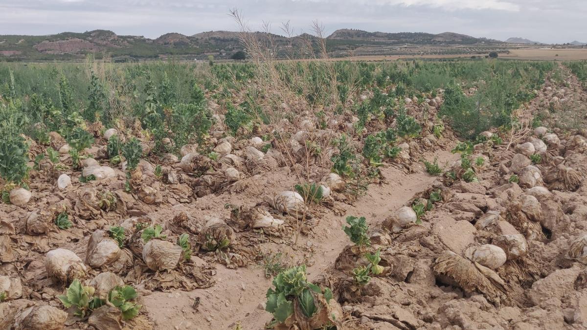 Lechugas abandonadas en el paraje de Boalage, en Yecla.