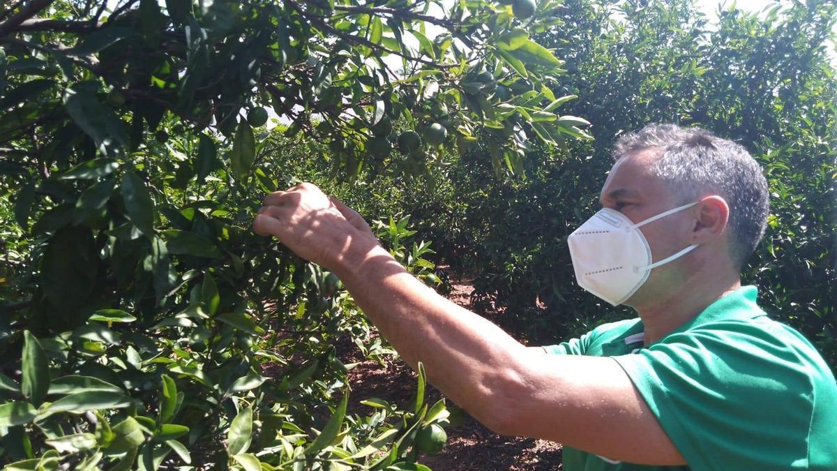 Un agricultor observa la afección de la plaga del 'cotonet' en las plantaciones de cítricos.