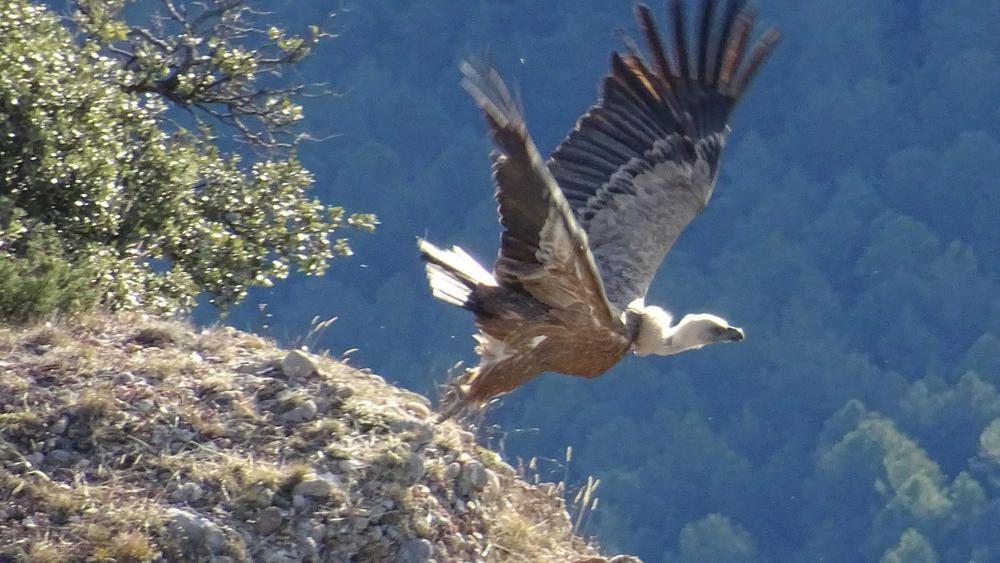Alçant el vol. Si caminar per la muntanya és gratificant, poder veure l'inici de vol d'aquest voltor als cingles de la Llosa del Cavall al Solsonès és un moment extraordinari.