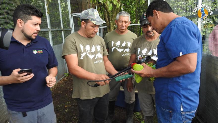 Loro Parque contribuye a la reintroducción de seis guacamayos en Ecuador