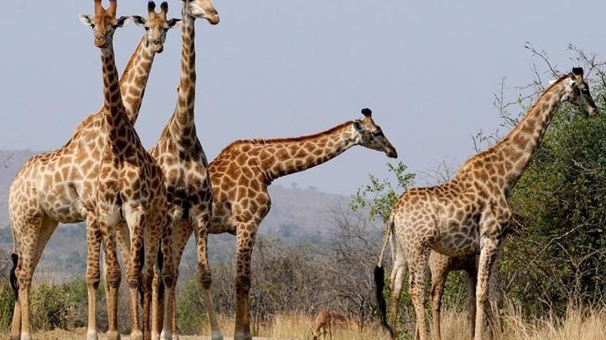 ¿Quién está matando a las jirafas?