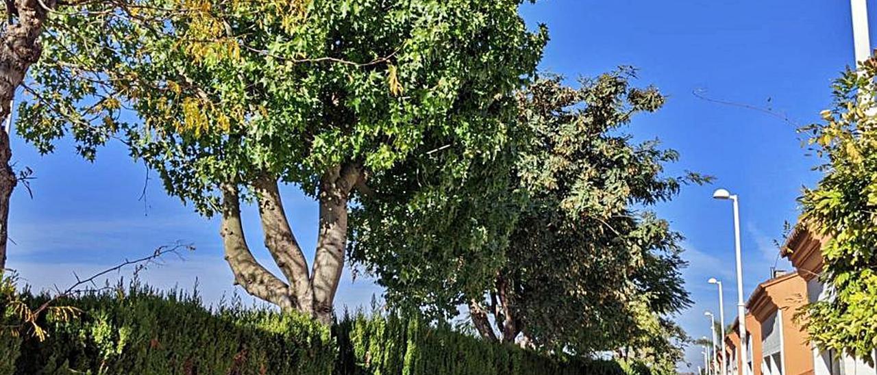 Árboles que se pretendían talar, entre cipreses. | LEVANTE-EMV
