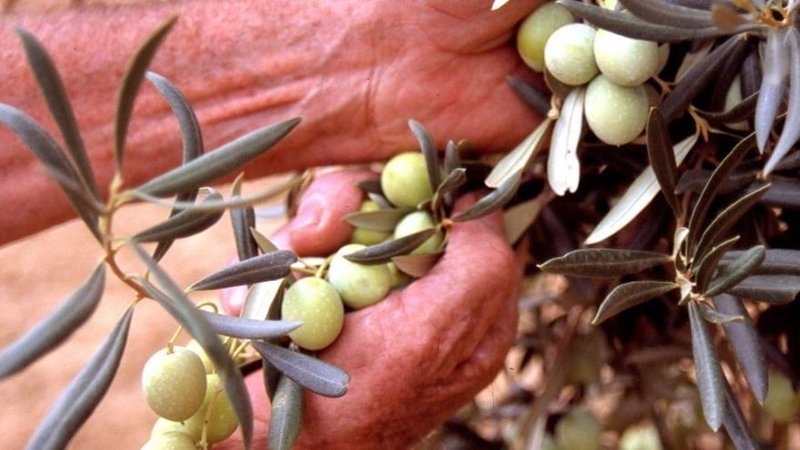La producción de aceituna aloreña bajará un 50% esta temporada