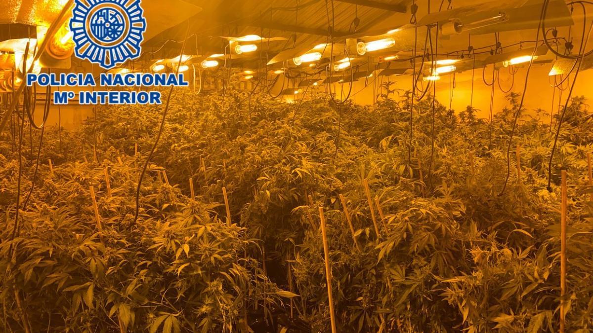 Plantación de marihuana encontrada por la Policía Nacional.
