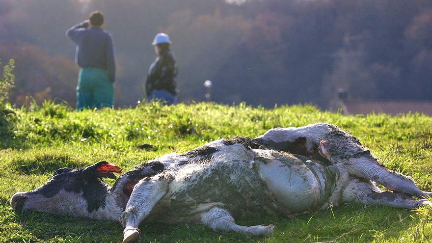 Ganaderos protestan hoy en A Coruña por los ataques del lobo