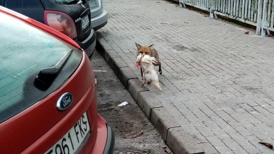 Un raposu se pasea con su presa, una gallina, por la zona urbana de Cangas de Onís