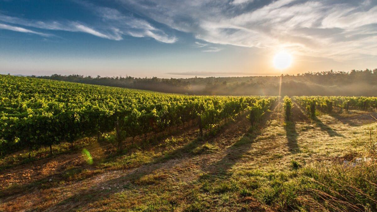 El cambio climático ya permite producir dos cosechas de uva al año