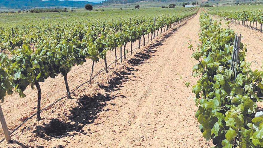 Los viticultores de Requena-Utiel podrán realizar la vendimia en verde este año