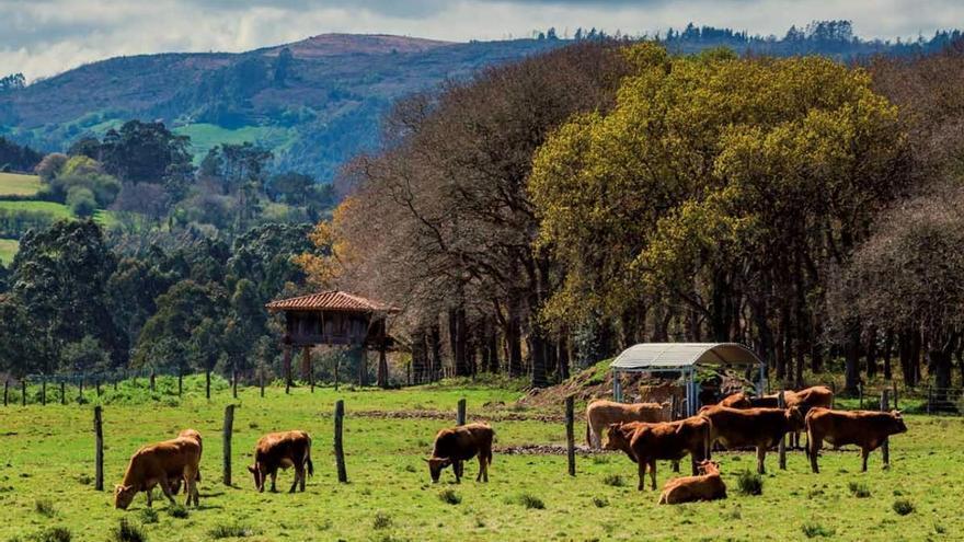 Alimerka comercializa el 50% de la producción de la IGP Ternera Asturiana y refrenda su compromiso con la marca de calidad