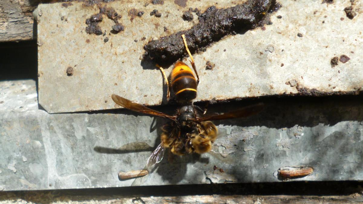 Un exemplar de vespa asiàtica.