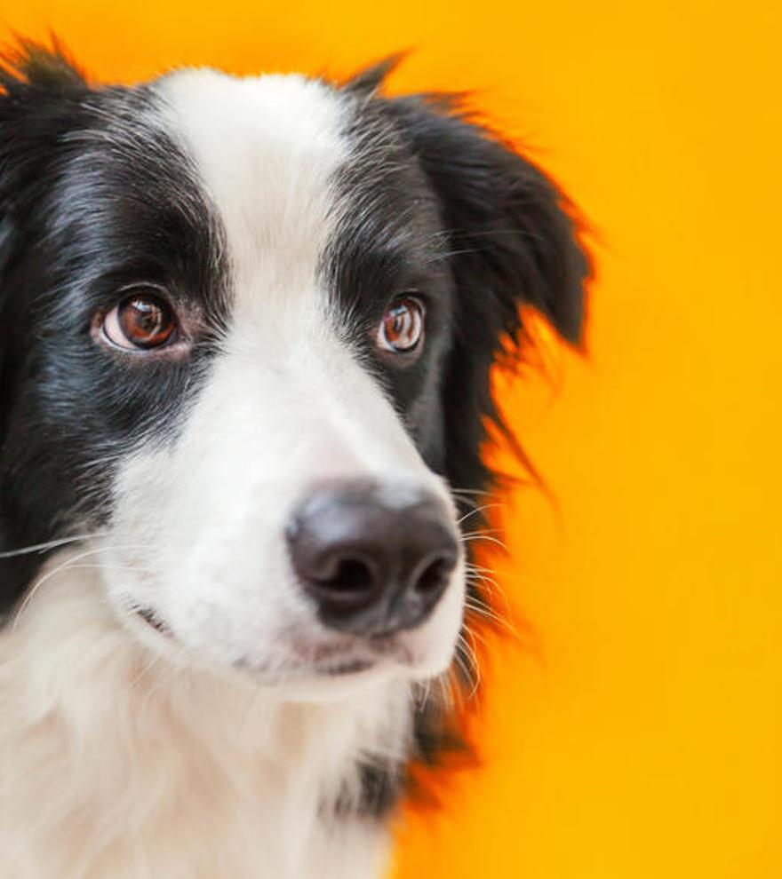 Aunque tu perro te mire a los ojos, no procesa tu cara