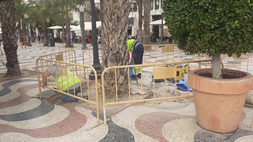 El Ayuntamiento de Alicante repara los alcorques de dos palmeras de la Explanada