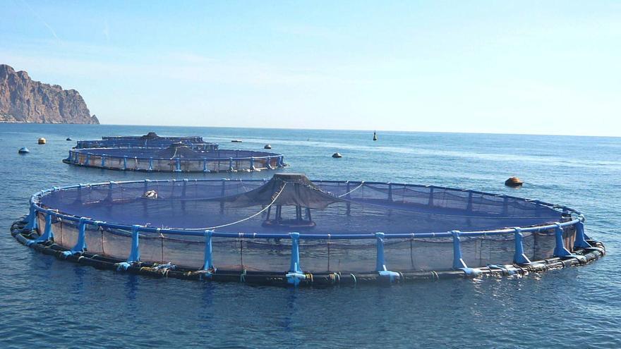 Arranca la instalación en El Campello de la mayor piscifactoría de la Comunidad