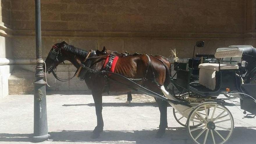 Ist bald Schluss mit den Pferdekutschen in Palma?