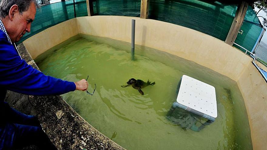 Otra foca gris a salvo en Arousa